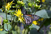 monach butterfly East Hampton community Garden New York 250812 2374 smg