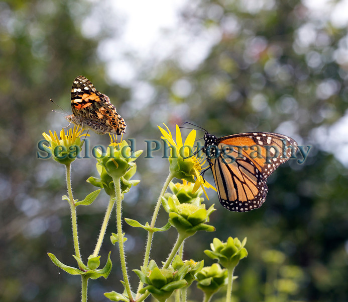 On the left, a painted lady butterfly, Vanessa cardui; and on the right, a monach butterfly, Danaus plexippus; feeding in the East Hampton community garden, Long Island, New York on 25 August 2012<br /> <br /> File No. 250812 2425<br /> ©RLLord<br /> fishinfo@guernsey.net