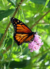 Nyack monarch butterfly Buddleia 250807 83 cr smg