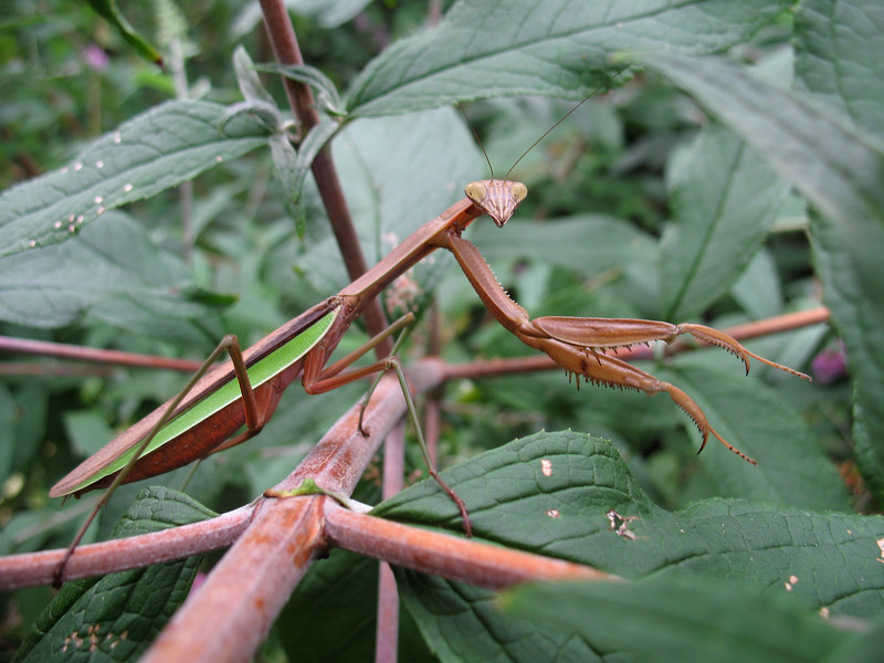 A Chinese praying mantis, Tenodera aridifolia sinensis, waits for monach butterflies, which it successfully captures in a Buddleia bush in Nyack, New York, USA on the 26 August 2007.<br /> File No. 260807 149<br /> ©RLLord<br /> fishinfo@guernsey.net<br /> sealordphotography