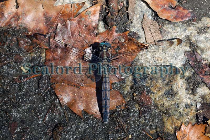 blue dasher dragonfly Central Park 280812 ©RLLord 2760 smg