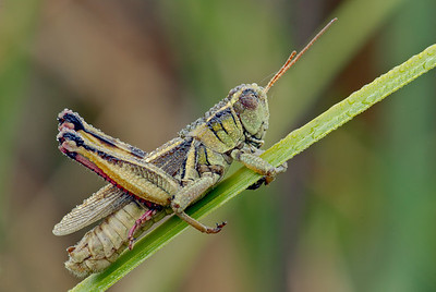 Grasshopper Covered in Dew