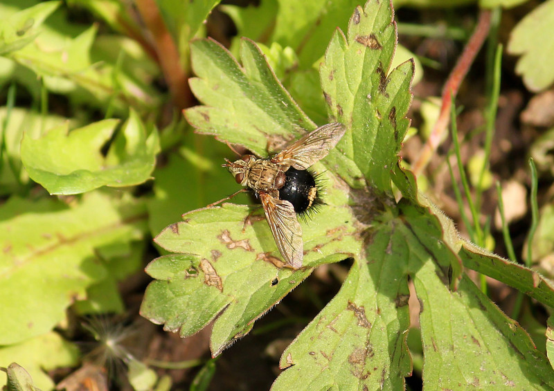 Early Tachinid Fly