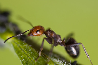 Wood Ant's managing herd of Aphids.