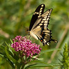 Giant Swallowtail.  The largest Butterfly in North America.