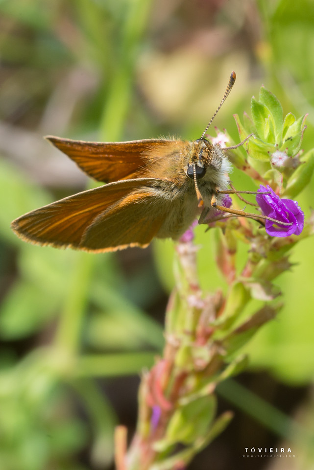 The small skipper (Thymelicus sylvestris) is a butterfly of the Hesperiidae family., Vagueira (Aveiro)