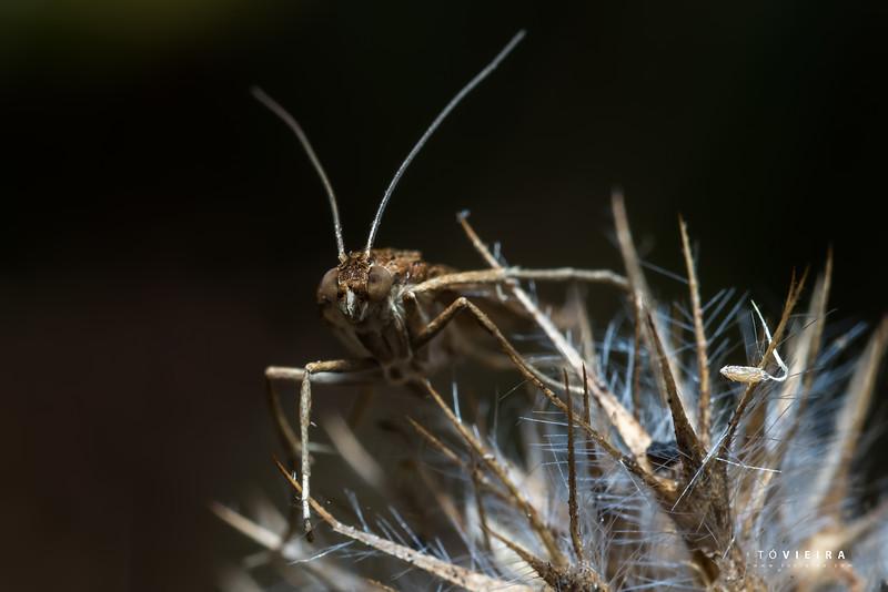 Eudonia truncicolella - Crambidae family