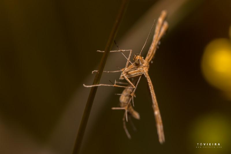 Borboleta da Família Pterophoridae