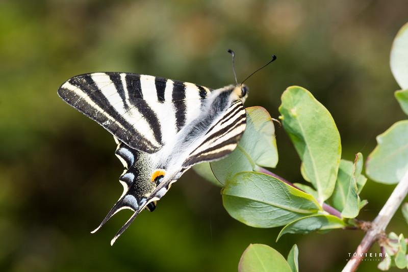 Borboleta-zebra Iphiclides feisthamelii