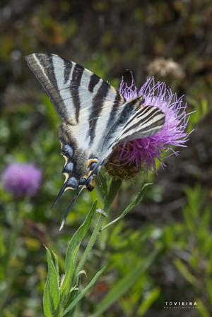 Borboleta Zebra - Iphiclides feisthamelii