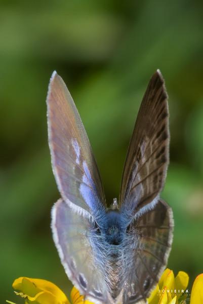 """Azulinha""   Long-tailed blue Lampides boeticus, Aveiro"