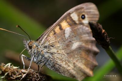Malhadinha, Speckled Wood (Pararge aegeria)