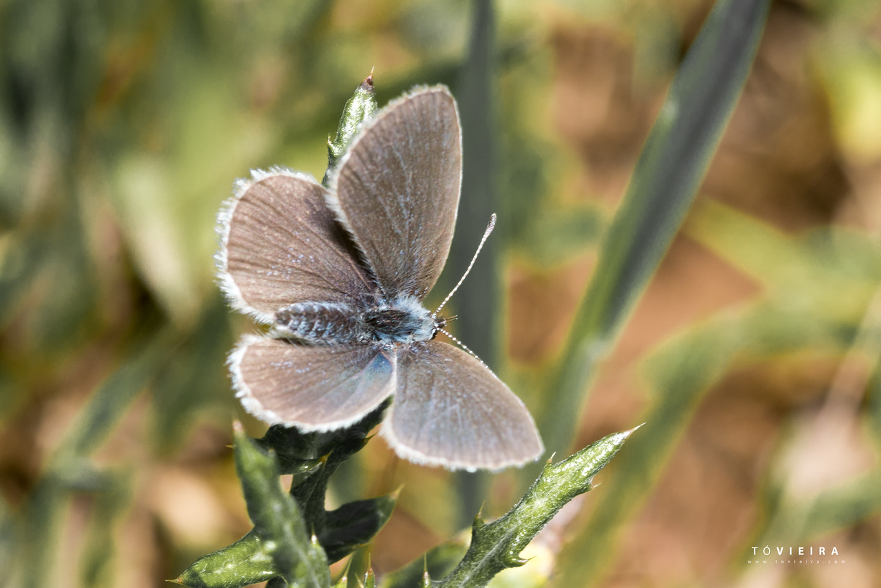 Borboleta-Azul Common Blue (Polyommatus icarus)