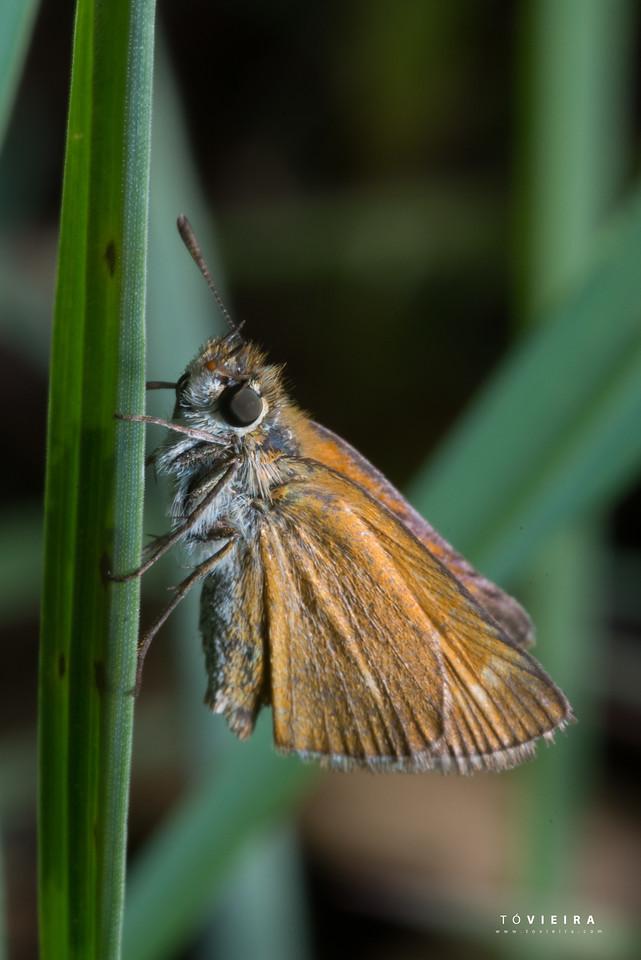 Borboletas - Ochlodes sylvanus