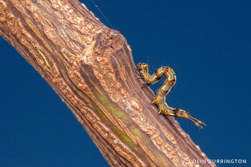 Pale-edged Selenisa caterpillar