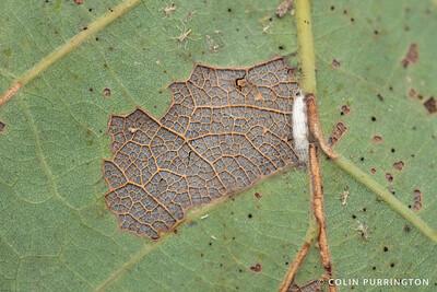 Oak skeletonizer moth (Bucculatrix ainsliella) cocoon