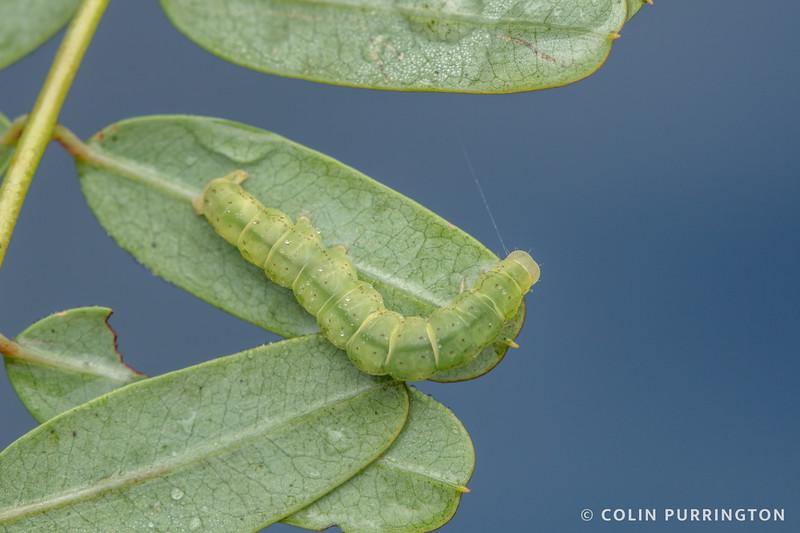 Graylet moth caterpillar