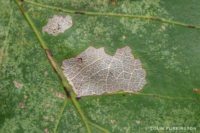 Oak skeletonizer moth (Bucculatrix ainsliella) damage