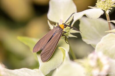 Orange-collared scape moth