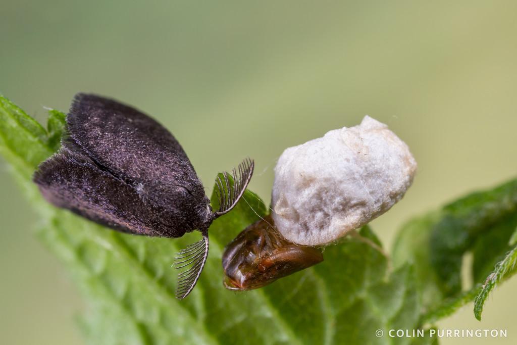 Planthopper parasite moth (Fulgoraecia exigua)