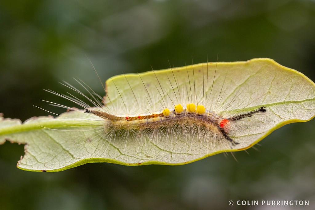 White-marked tussock moth