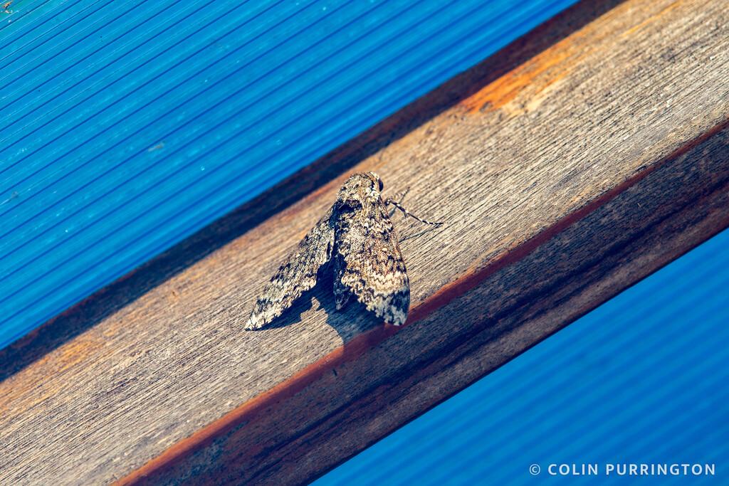 Rustic sphinx moth