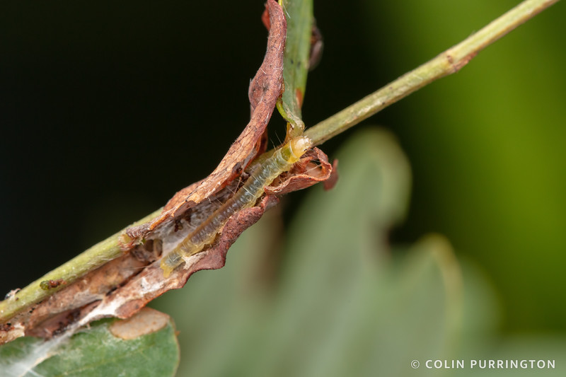 Caterpillar in retreat
