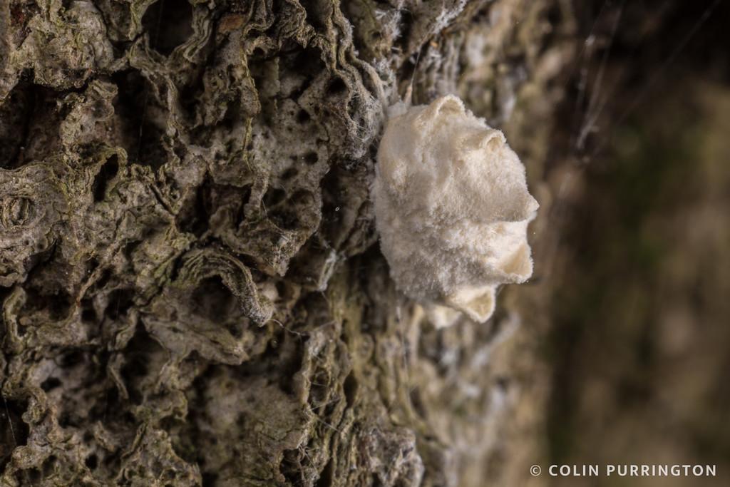 Planthopper parasite moth cocoon