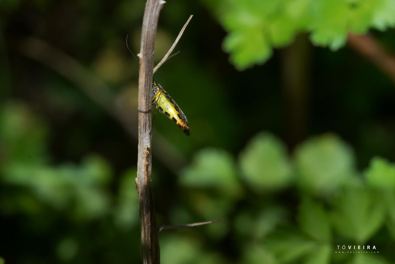 dança do varão com a mosca escorpião
