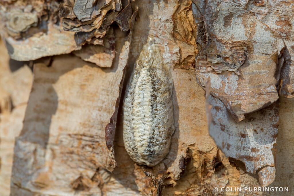 Carolina mantis ootheca