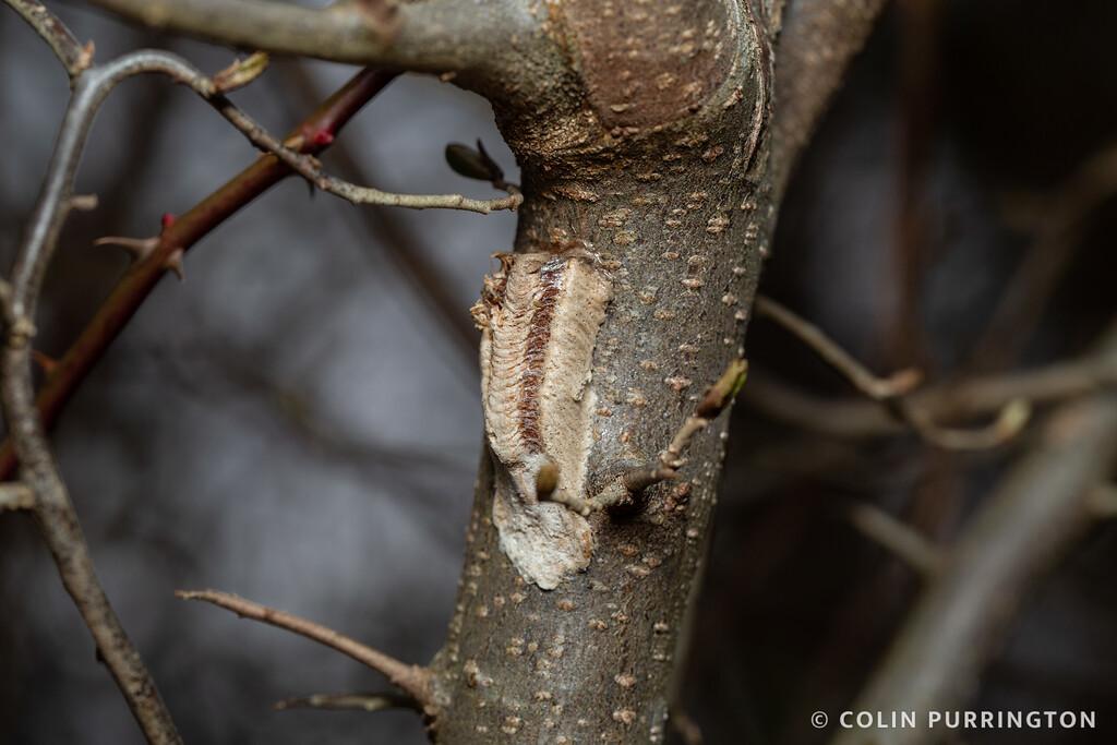 Narrow-winged mantid (Tenodera angustipennis) ootheca on on tree