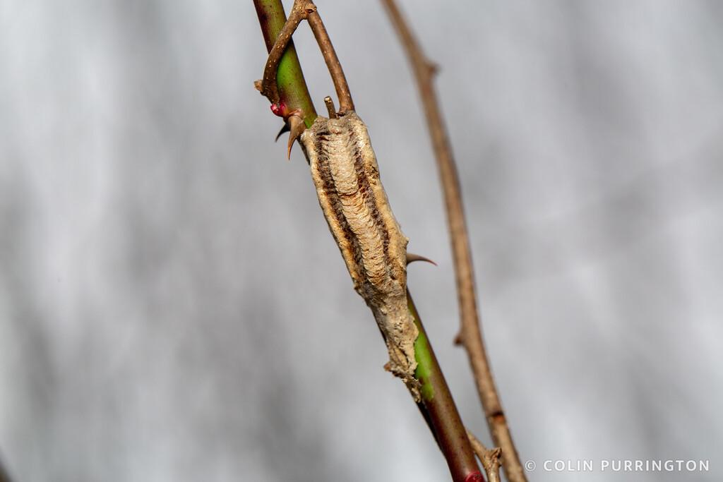 Narrow-winged mantid ootheca
