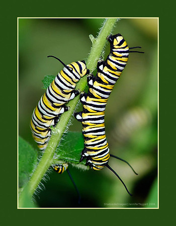 Monarch  Butterrfly:  Hatching