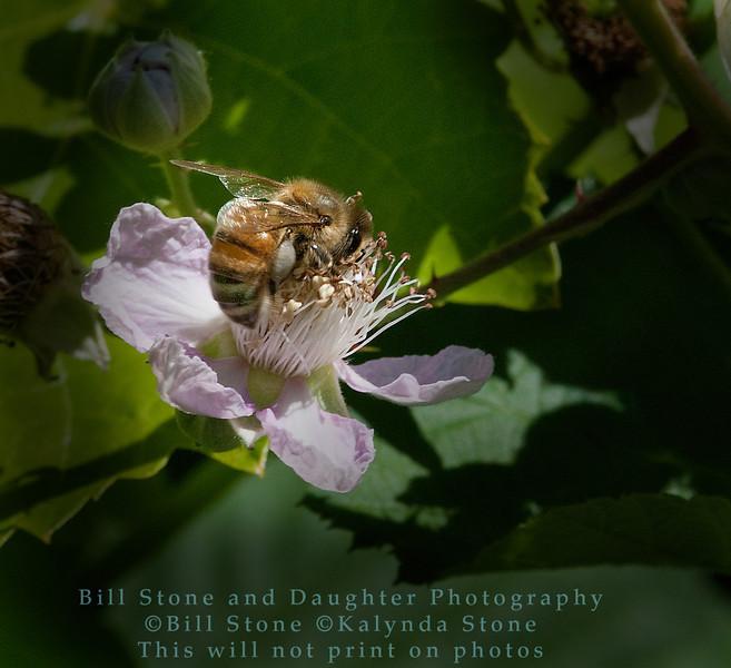 Honeybee on Blackberry