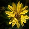 Bee on Yellow Daisy