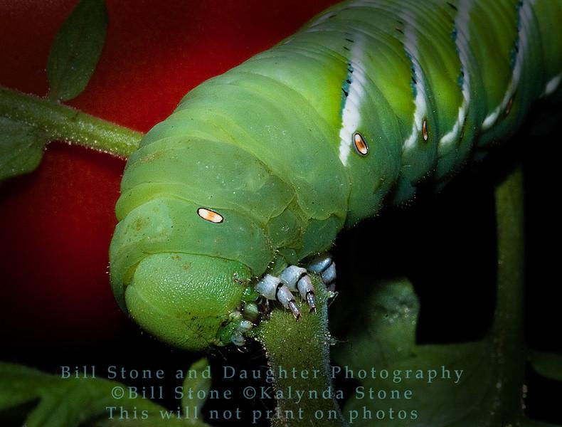 Tomato Hornworm - Manduca quinquemaculata - Contra Costa County, California