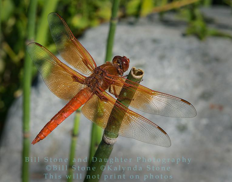 Libellula saturata (Flame Skimmer) dragonfly, Walnut Creek, California