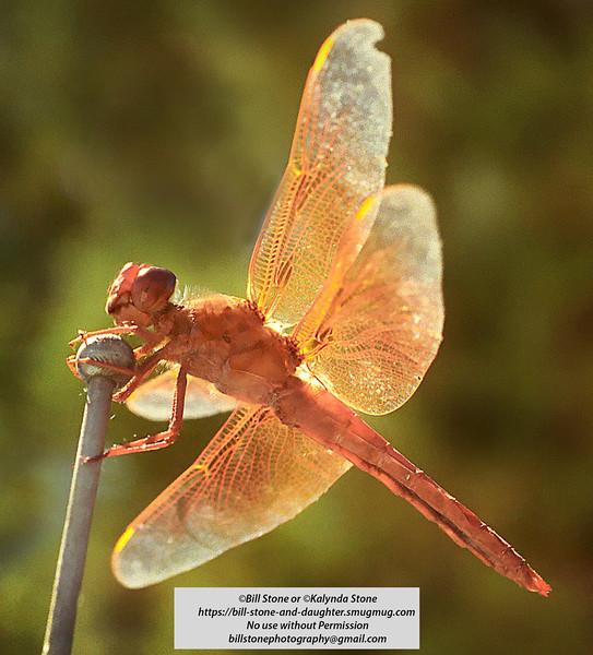 Flame Skimmer (Libellula saturata) dragonfly, eastern sierra