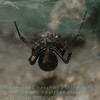 Western black widow  (Latrodectus hesperus) devoring a daddy longlegs