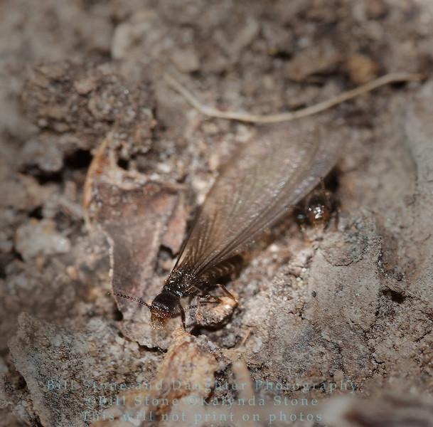 Western subterranean termites (Reticulitermes hesperus)