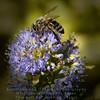 Honeybee on purple flower