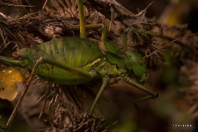 grilo-de-sela da espécie Neocallicrania serrata