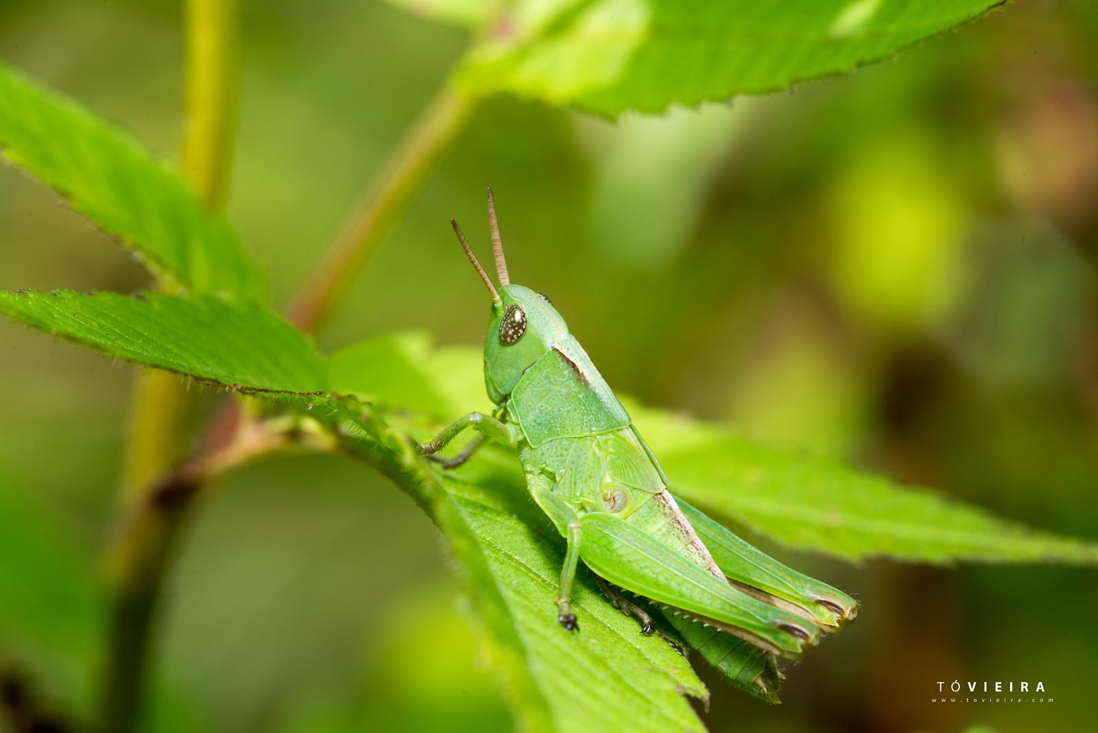 Membracídeo (como são conhecidos os insetos da família Membracidae)