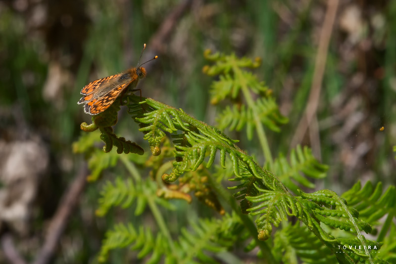 Marsh fritillary - Euphydryas aurinia
