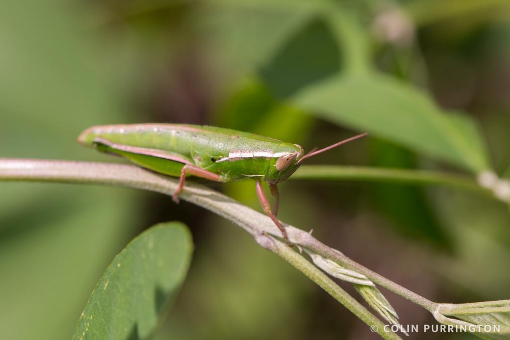 Linear-winged grasshopper