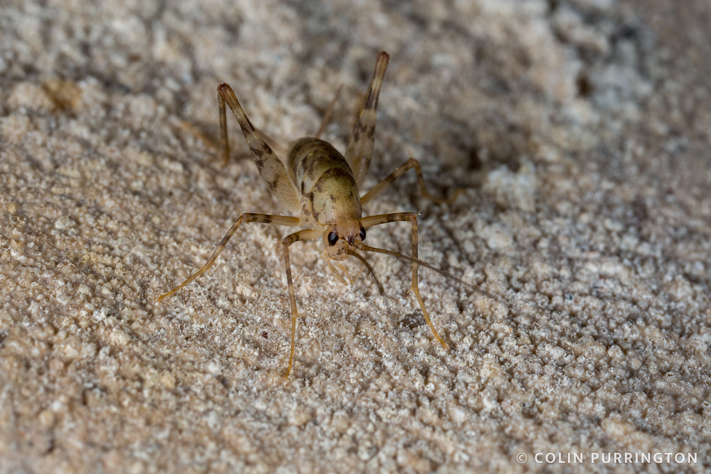 Greenhouse camel cricket