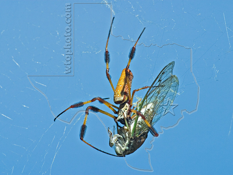 Golden Silk Orbweaver and Cicada,<br /> Brazos Bend State Park, Texas
