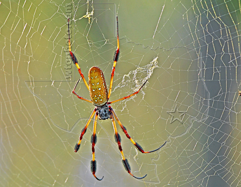 Golden Silk Orb-Weaver Spider,<br /> Brazos Bend State Park, Texas