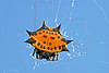 Spiny-backed Orbweaver,<br /> Nordheim, Texas