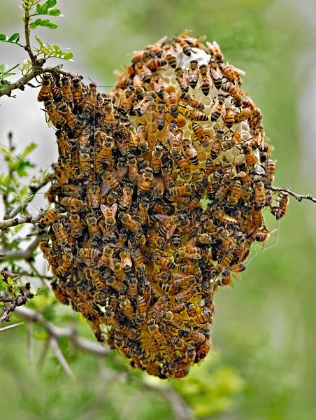 Honey Bee Hive,<br /> Nordheim, Texas